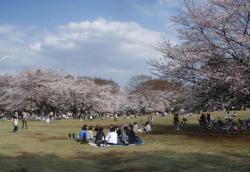 sakura-hikarigaoka.jpg