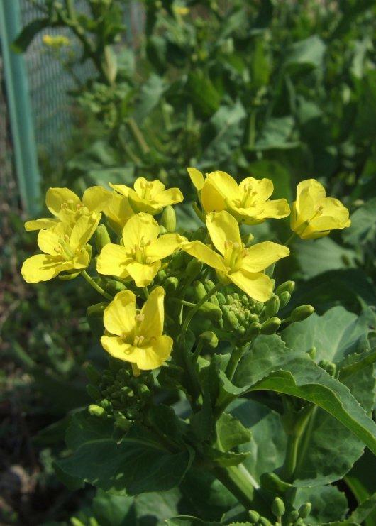 12菜の花