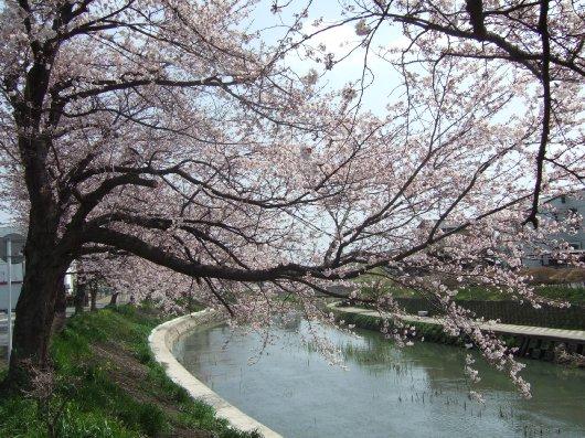 ゆば~ばさまの桜01