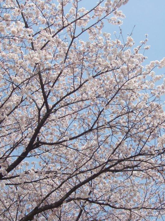 ゆば~ばさまの桜02