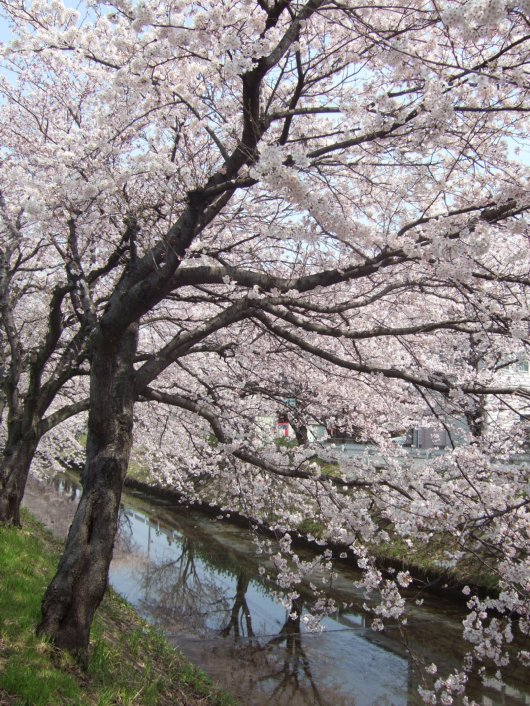 ゆば~ばさまの桜03