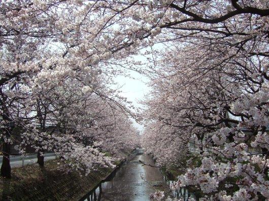 ゆば~ばさまの桜04