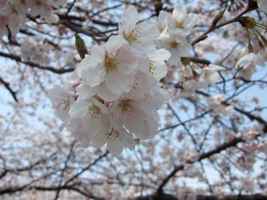 ゆば~ばさまの桜05
