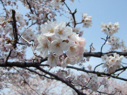 ゆば~ばさまの桜06