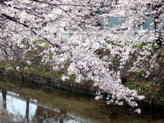 ゆば~ばさまの桜07