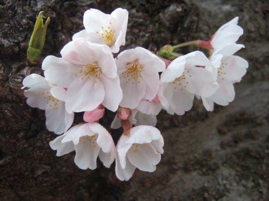 ゆば~ばさまの桜08