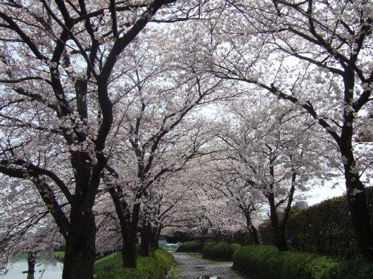ゆば~ばさまの桜09