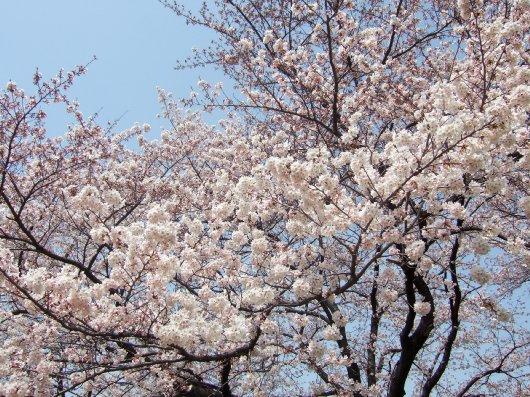 ゆば~ばさまの桜10