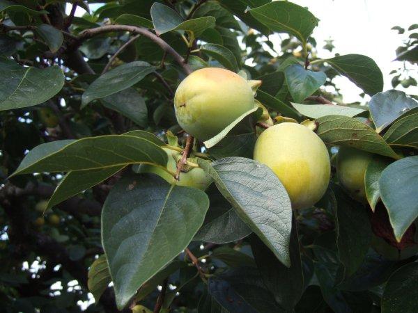 ゆば~ばさまのお散歩12色づき始めた柿