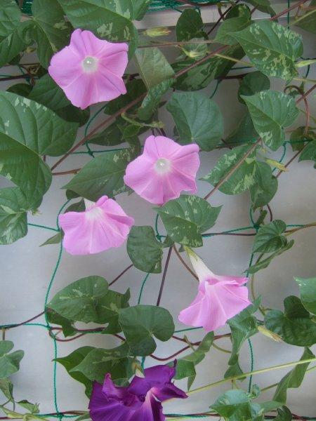 ゆば~ばさまのお散歩13おまけ この夏わがベランダに咲いた朝顔