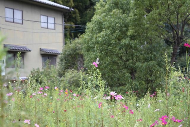 イチゲンさまのコスモス2010-21