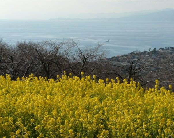 菜の花畑2011-byHirokonさま1