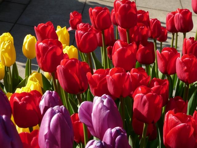 もう菜の花は満開です7