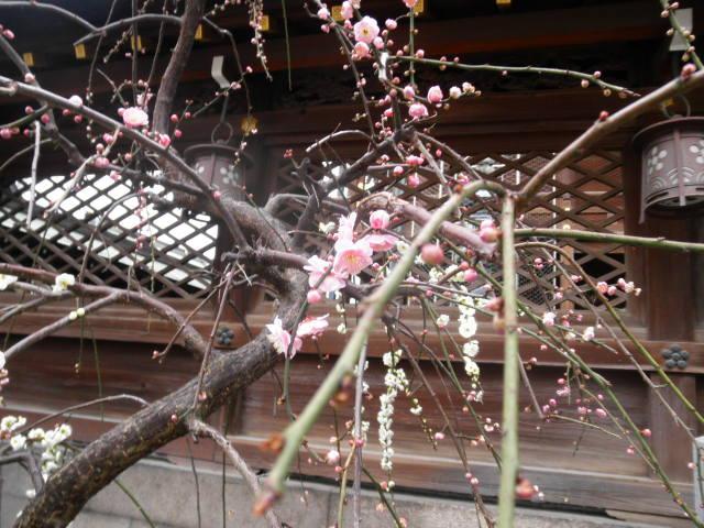 大阪天満宮の梅pukupukuさま2