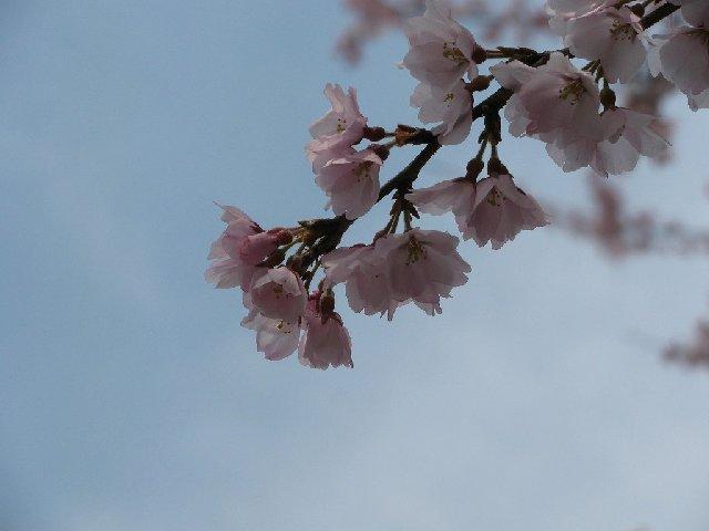 2.彼岸桜