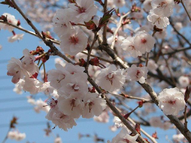 3.熊谷桜