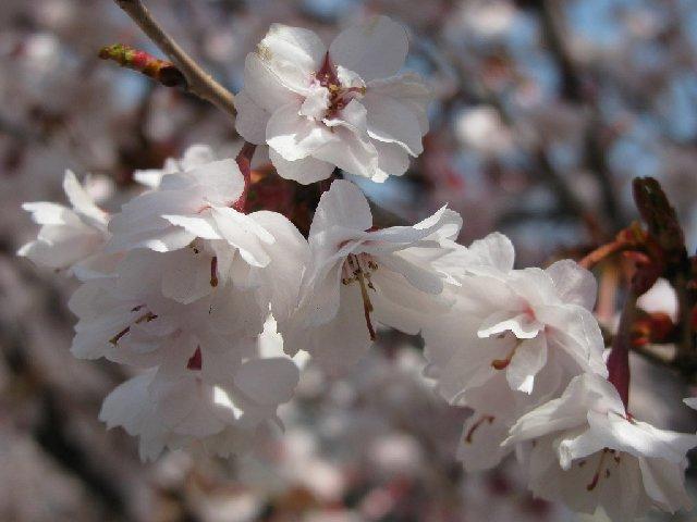 4.熊谷桜