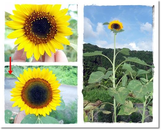 2011・7・31・向日葵の顔1