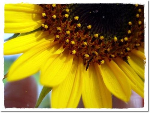 2011・7・31・向日葵の顔