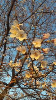 4/6の桜