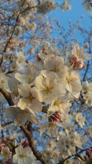 4/7土手の桜