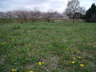 たんぽぽ畑