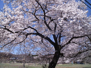 伊香保の桜