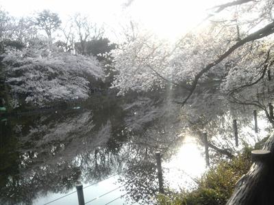 井の頭公園の桜 1