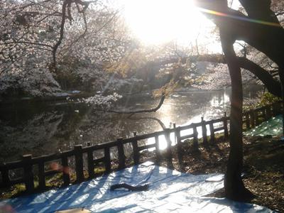 井の頭公園の桜 2