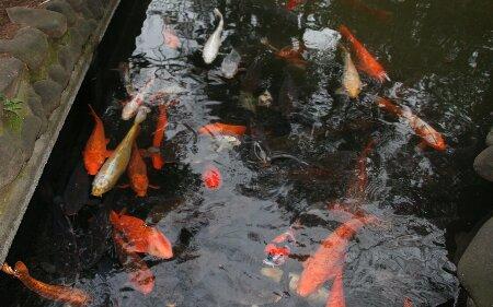 03遅之井の鯉