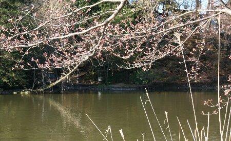 04桜のつぼみ