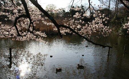 05上池の桜