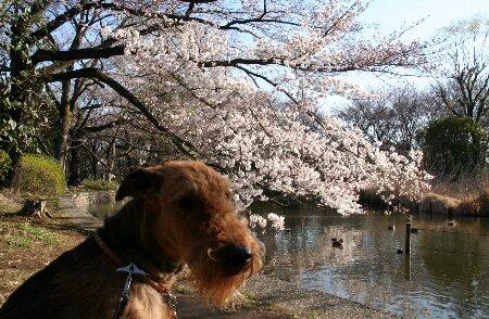 06桜パトロール