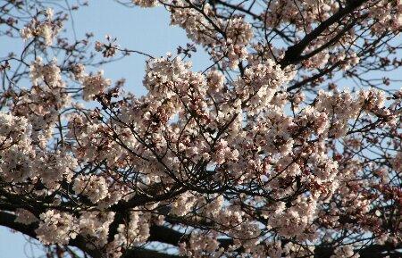 07満開の桜