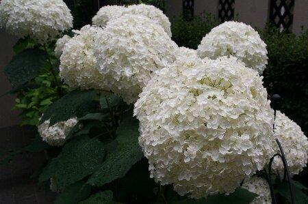 07白い紫陽花