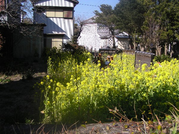 P3010008.JPG菜の花.jpg