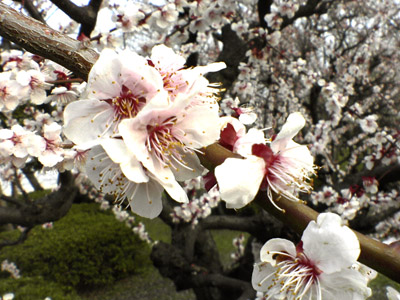 大阪城公園梅林1