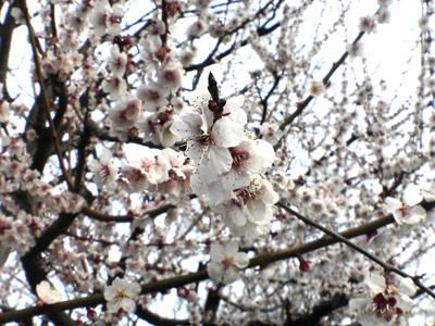 大阪城公園梅林2