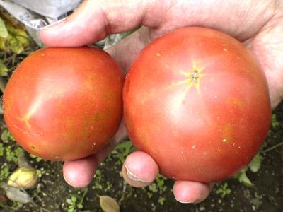 トマトうまそう!