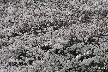 桜1jpg