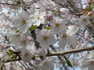 sakura2_20110413205721.jpg