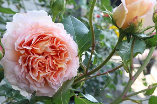 100512-rose-1.jpg