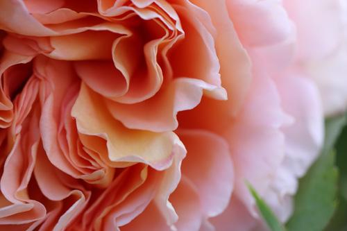 100512-rose-2.jpg