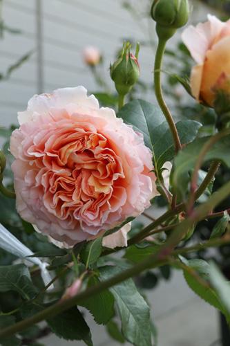 100512-rose-3.jpg