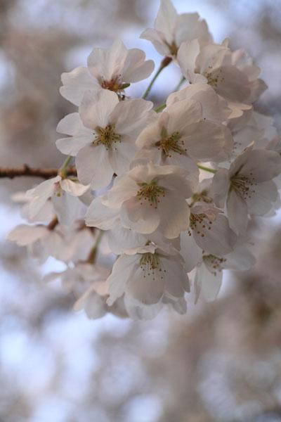 110409-桜-3