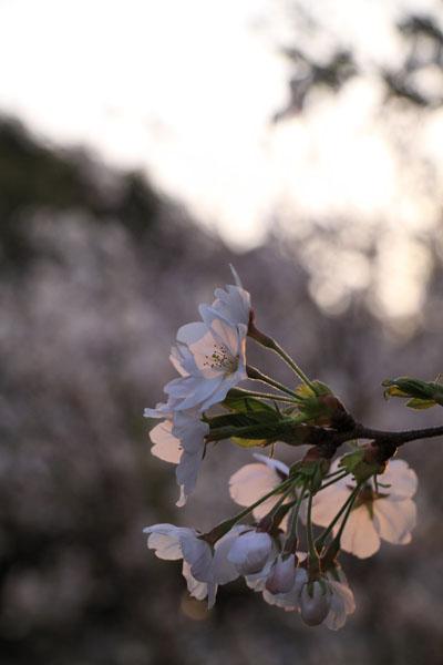 110409-桜-2