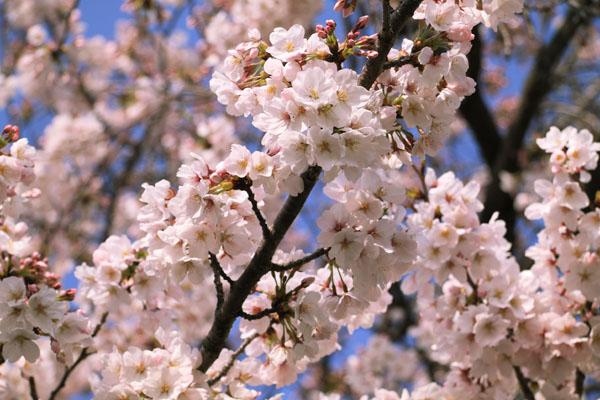 110409-桜-1