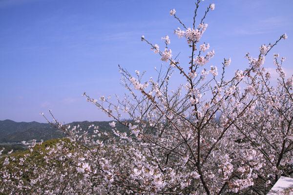 110410-桜-6
