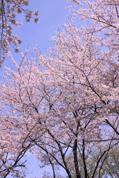 110410-桜-7