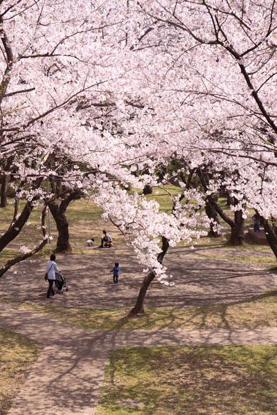 110410-桜-5